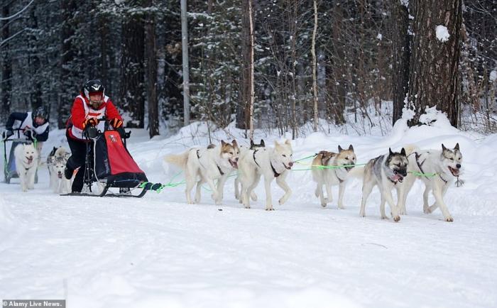 Десятки собак катают своих хозяев по замерзшей Новосибирской области в России на традиционных собачьих упряжках