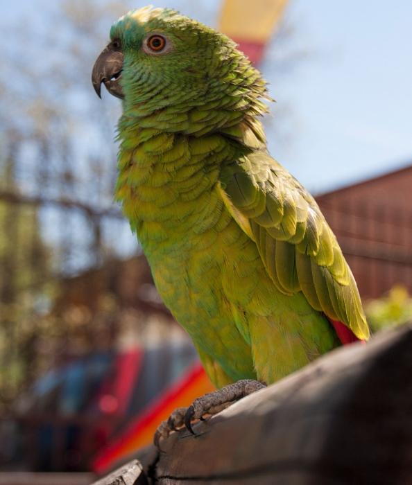 Полиция, среагировала на крик о помощи, но обнаружила попугая, который кричал «Выпустите Меня!»