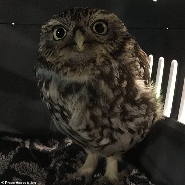 Спасатели обозвали сову «толстухой» после того, как она не смогла взлететь после такого количества мышей и полёвок