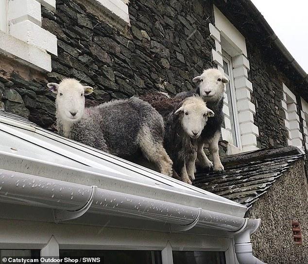 Как они туда попали? Смешно! Три потерявшихся овцы были найдены на крыше магазина совершенно спокойными