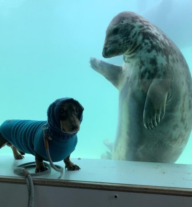 Тюлень и такса становятся приятелями и позируют для праздничных фото