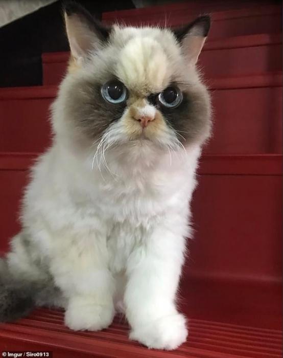 Новый ворчливый кот был найден! Поклонники приветствуют кота Мяу Мяу из Тайваня как преемника