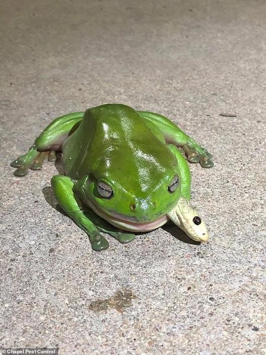 Храбрая зеленая древесная лягушка на фото поедает смертельно ядовитую змею Тайпан