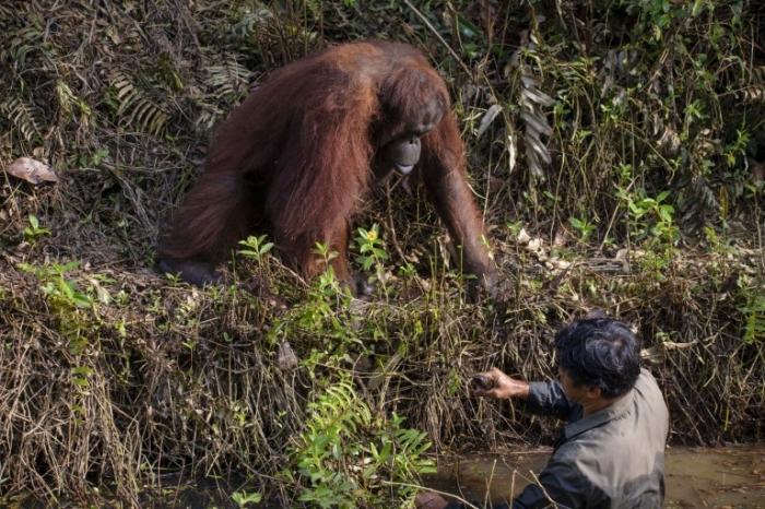 Орaнгутанг предлагает мужчине помочь выбраться, думая, что тот упал в наполненную змеями воду