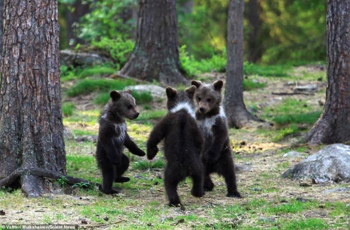 Медвежата, кажется, наслаждаются танцем в финском лесу
