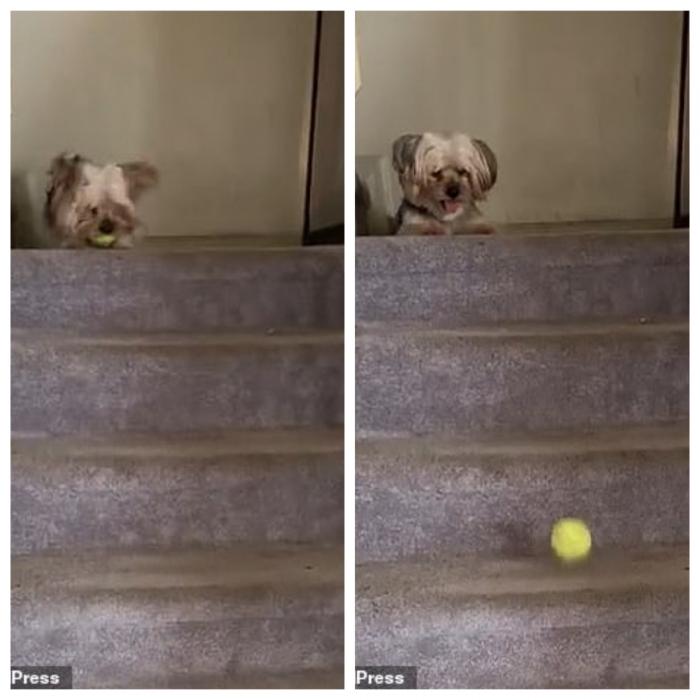 Умный пес бросает свой мяч вниз по лестнице, а затем гонится за ним в очаровательном фильме