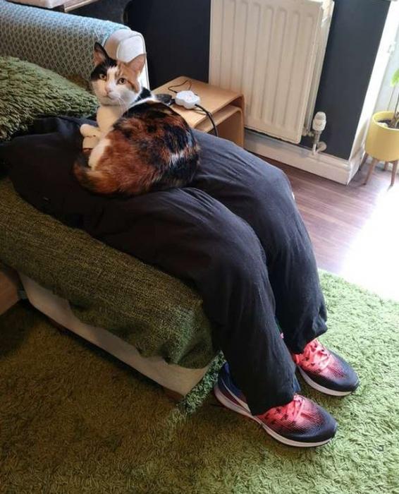 Владельцы «сверх прилипчивого» кота обманывают его, сделав поддельные теплые коленки, чтобы он на них сидел
