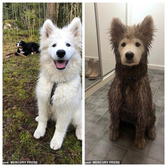 Пушистая собачка полностью покрыта грязью за исключением его идеально чистой морды, после игры во дворе
