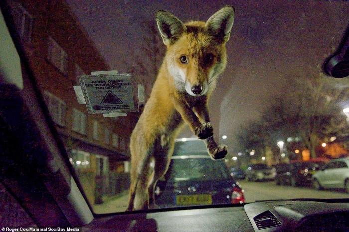 Лиса, охотящаяся за дикими вишнями на припаркованной машине, тюлень и нахальная белка: лучшие фото животных года