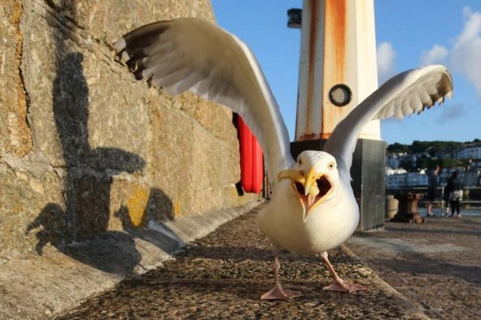 Пикирующие чайки настолько неуправляемы, что от них можно сойти с ума