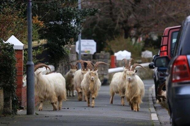 Валийским городом овладело стадо коз. Они ходят по пустынными улицами, а жители спрятались от Ковид-19