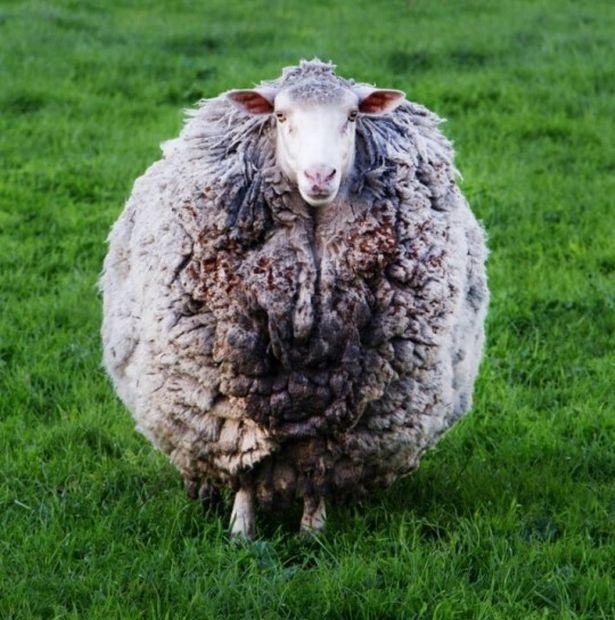 Овца Колючка вернулась домой через семь лет. Владельцы шутят, что она была в «самоизоляции»