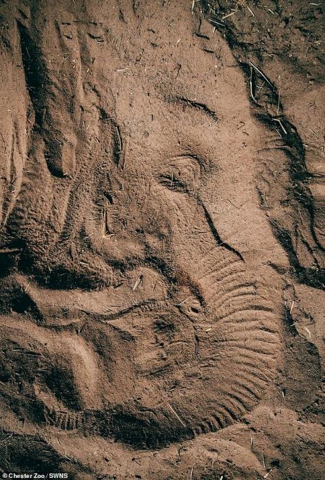 Годовалый слонёнок оставляет прекрасный отпечаток после того, как он поспал на песке