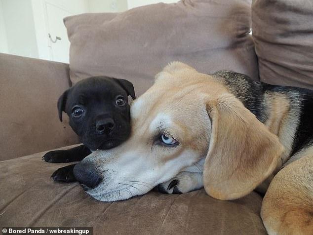 Смешные фото раздраженных собак, которые не хотят, чтобы их владельцы покупали нового домашнего питомца в семью