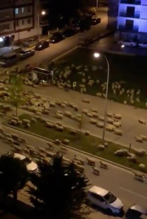 Посмотрите, как овцы захватывают город в Турции во время проведения карантина Ковид-19