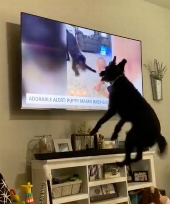 Собака увидела себя в новостях и проявила оживленную реакцию на своё появление на телевидении