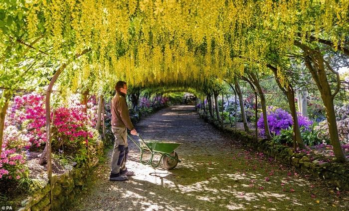Эффектная арка laburnum расцветает в саду National Trust ... но только несколько людей из персонала может увидеть ее полную красоту