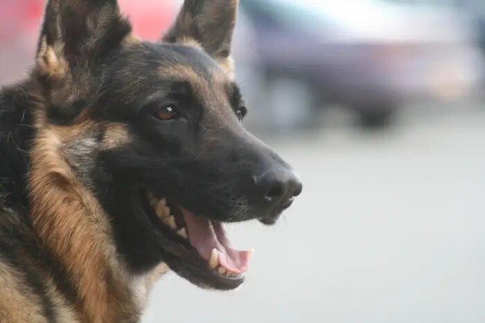 Впервые в США у собаки получили положительный результат на коронавирус