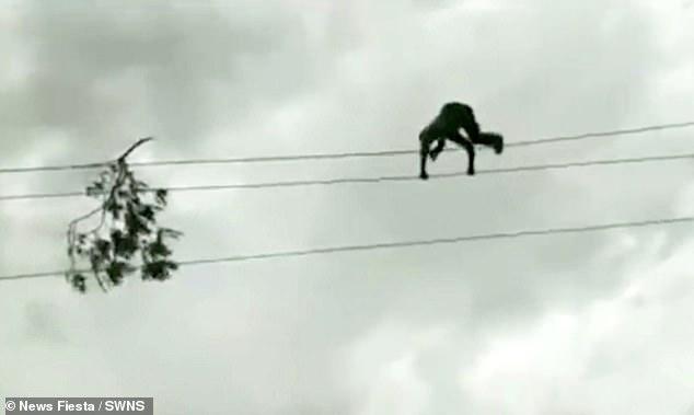 Бесстрашный рабочий ходит по двум линиям электропередачи, чтобы убрать упавшую ветку, а затем спускается вниз целым