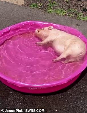 Смешно! Избалованная свинья по имени Эбби наслаждается расслабленным купанием в своем детском бассейне