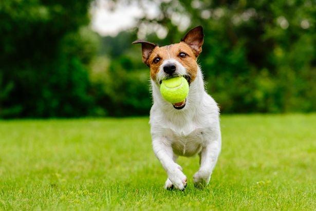 Люди увидели, как одна собака мастерски обманывает другую собаку, и кто-то сказал: «Этот пёс прирожденный торговец»