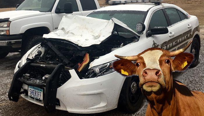 Полицейский, который искал корову на дороге сам же и сбил корову на дороге