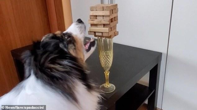 Собака, играющая в Дженге, побеждает своего хозяина, даже когда кубики еле держатся на бокале