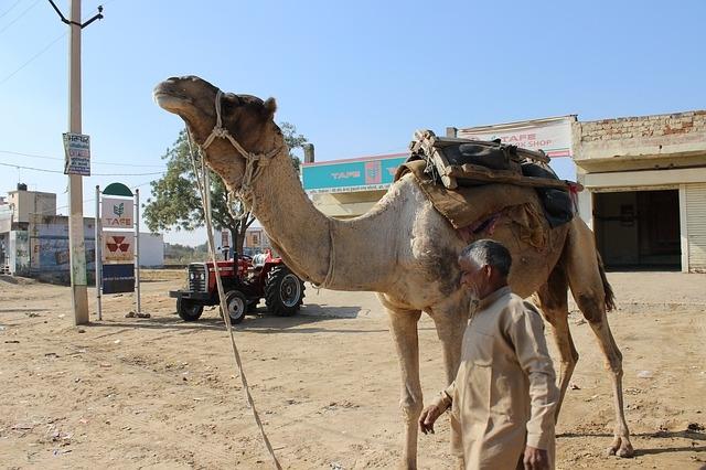 Своего владельца верблюд укусил за голову, потому что тот оставил его на жаре