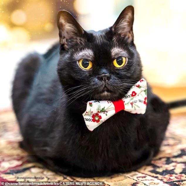 Классная кошка! Смешные светлые «брови» кота из Бомбея завоевали ему армию последователей в Инстаграм