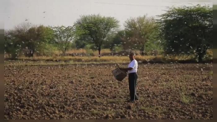 Саранча атакует посевы в Азии
