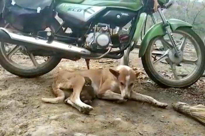 Собака взялась нянчить обезьянку, что считается, как маловероятным партнерством, но их сфотографировали
