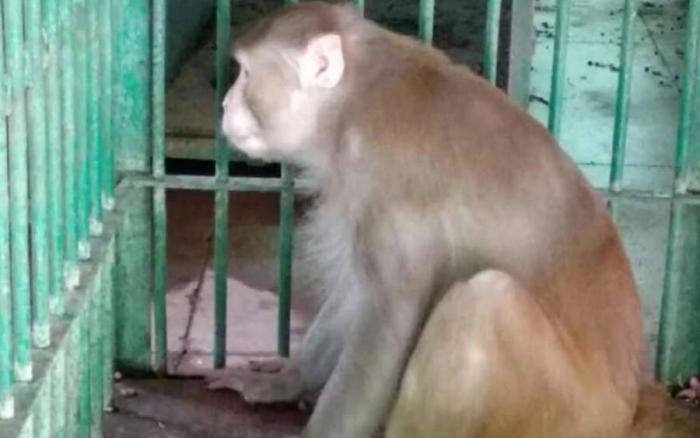 Неистовая обезьянка покусала 250 человек и одного убила в Индии