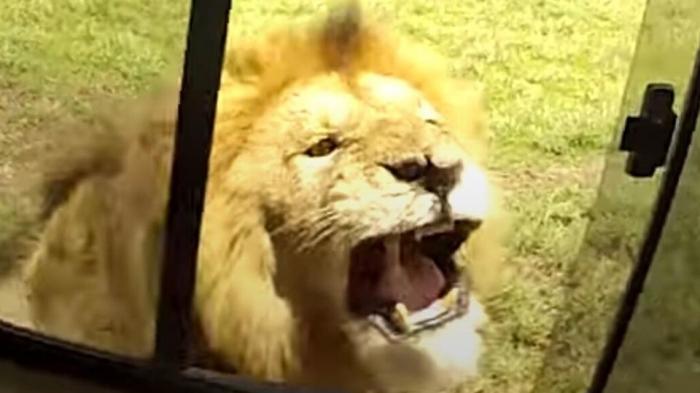 Туристы наконец поняли, почему никогда не нужно пытаться погладить льва
