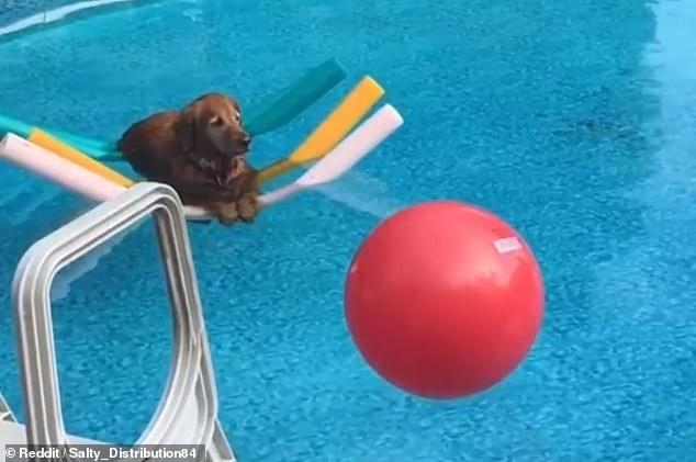 Золотистый ретривер плавает на четырех детских лапшах в бассейне в очаровательном фильме