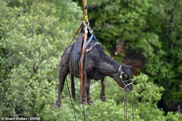 Корову по воздуху вертолётом перенесли в безопасное место через пять дней после падения с 45-метрового водопада