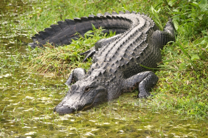 Женщина позвонила в общество защиты животных и сообщила, что «аллигатор» у неё в ванной