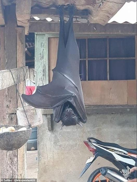 Ужасное фото огромной летучей мыши вызывает у пользователей социальных сетей кошмары (но это не совсем «размер с человека»).