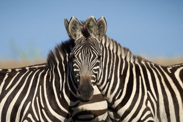 Невероятная зрительная иллюзия из жизни. Определите правая или левая зебра посмотрела в фотоаппарат?