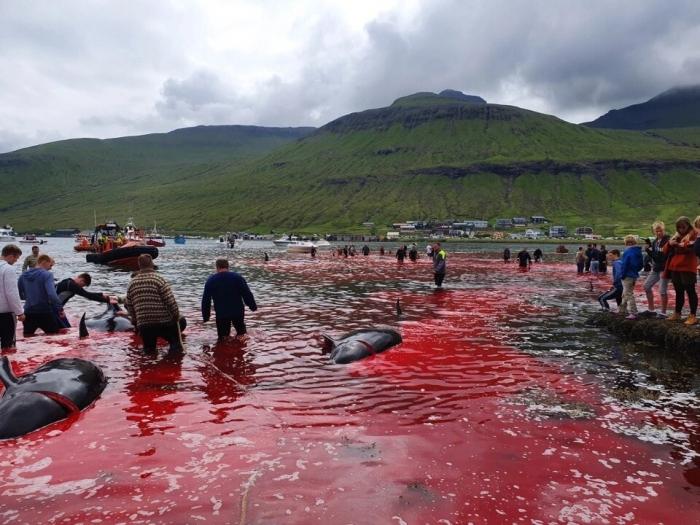 Море становится красным от крови на Фарерских островах, когда убивают десятки китов и дельфинов