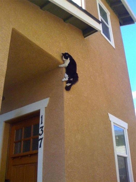 Смешные картинки домашних кошек, бросающих вызов законам физики, включая бесстрашного кота, уцепившегося за стену здания