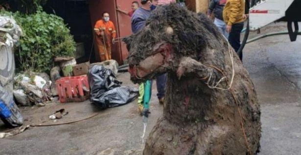 Ужасную «гигантскую крысу» изрыгнула канализация Мехико после того, как прошёл сильный дождь