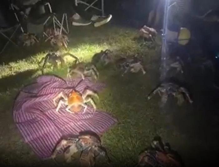Десятки ужасающих 90 см крабов-грабителей вторглись на территорию семейного кемпинга в поисках еды