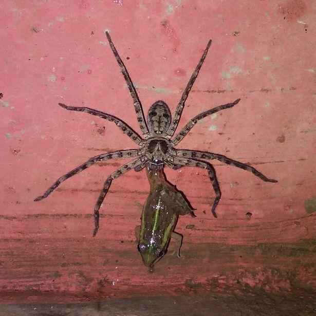 Огромный паук ест лягушку в Индии на ужасных снимках