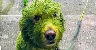«Зеленая собака» становится интернет-сенсацией после того, как она повалялась в траве