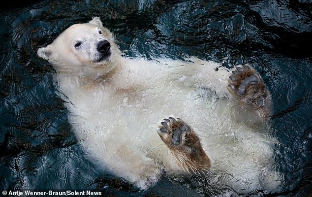 Улыбающийся Белый мишка плавает на спине в водоёме с прохладной водой, расслабляясь в зоопарке в Германии