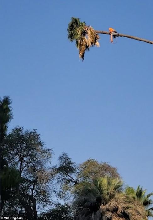 Ужасающий момент мужчину, обрезающего пальму, чуть не выбросило, когда он отрубил её конец