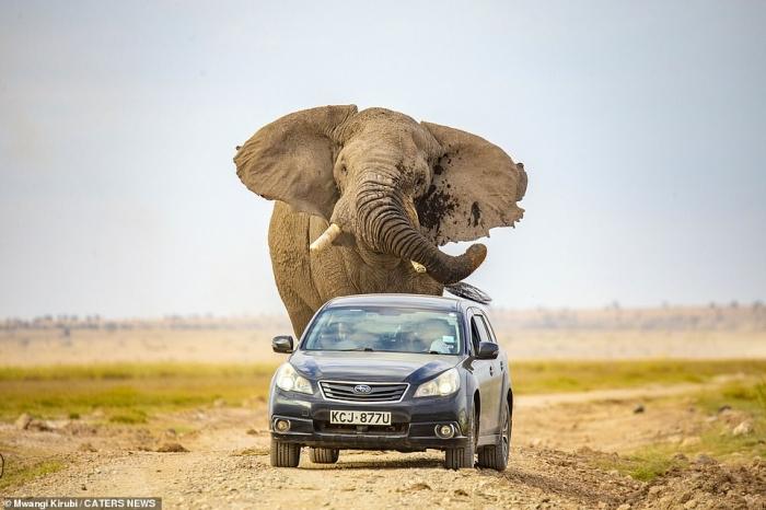 Слон гонится за автомобилем после того, как был напуган проезжающими транспортными средствами в Кении