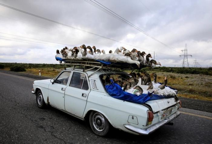 Автомобилист везет стаю гусей на крыше своей машины по шоссе в Азербайджане