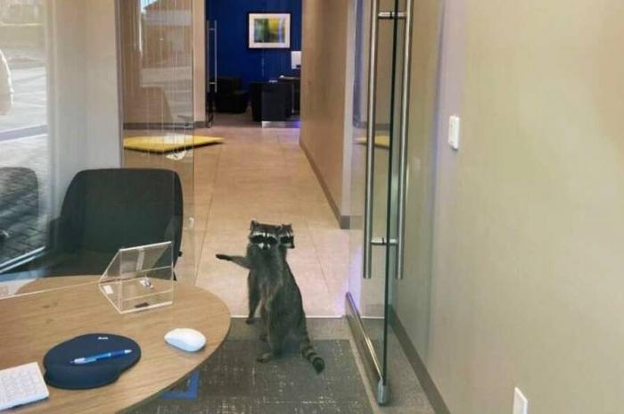 Два малолетних енота ворвались в банк в Калифорнии чтобы украсть печенье