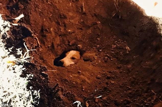 Собака, попавшая в ловушку в норе с лисой, была спасена в сложной 12-часовой операции